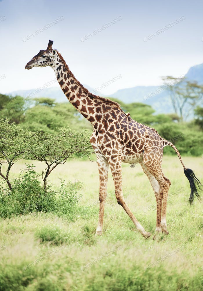 Shot of giraffe in Africa