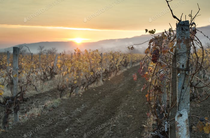 Vineyards on sunrise. Autumn vineyards in the morning.