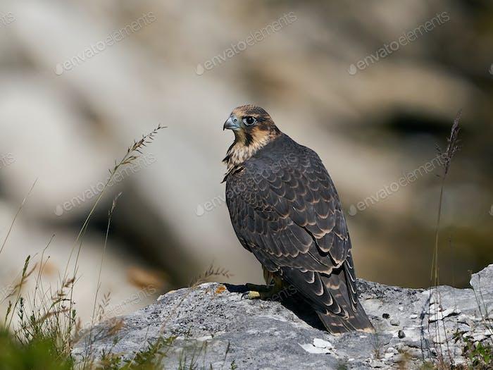 Peregrine falcon (Falco peregrinus) Juvenile
