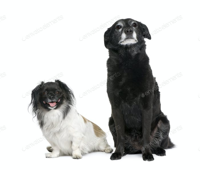 Two bastard dogs, 3 and 11 years old, sitting in front of white background, studio shot