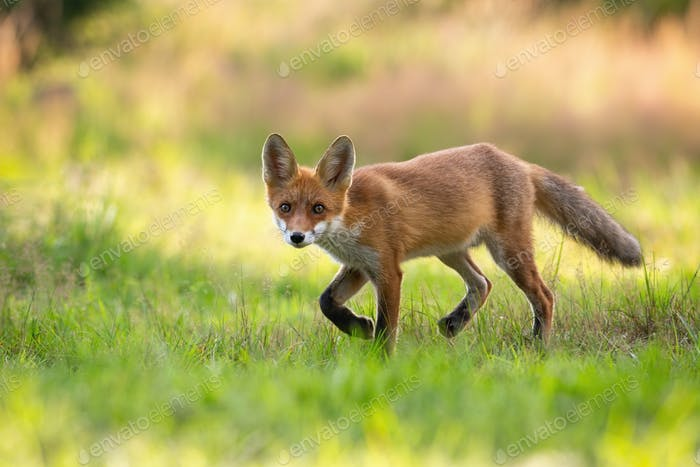 Playful red fox cub hunting on a green hay field in summer nature