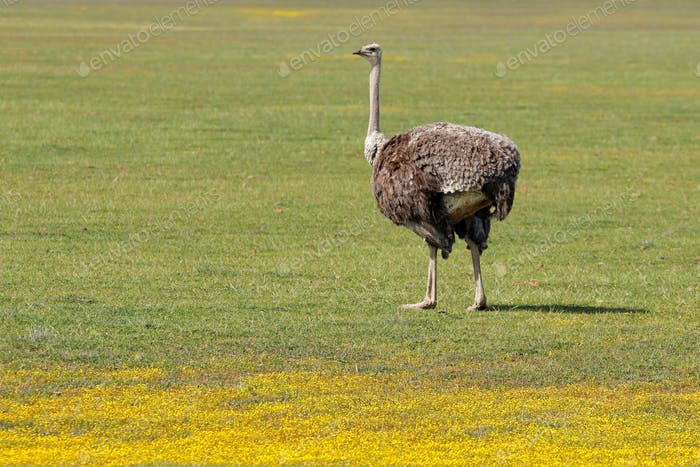 Ostrich and wild flowers