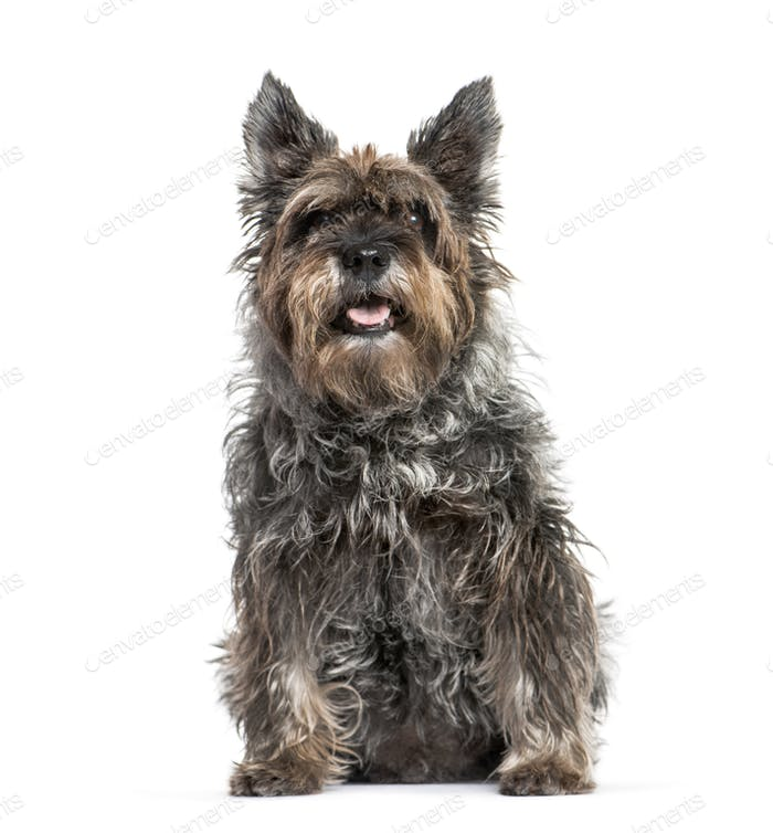 Old Miniature Schnauzer sitting and panting, isolated on white