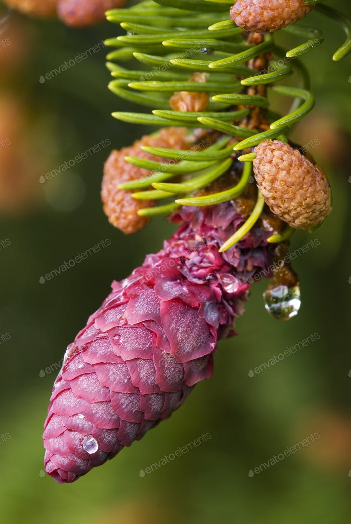 Red Spruce Pinecone