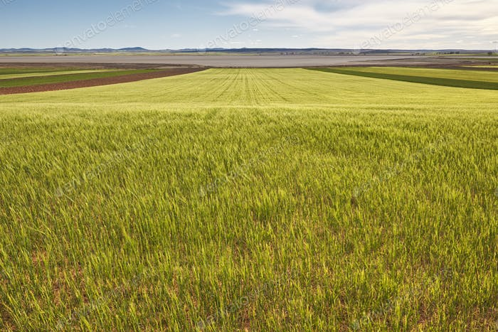 Wheat field in Teruel, Spain. Gallocanta pond reserve. Summer. Horizontal