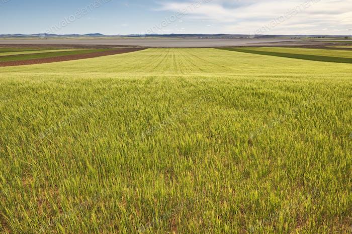 Weizenfeld in Teruel, Spanien. Gallocanta Teichreservat. Sommer. Horizontal