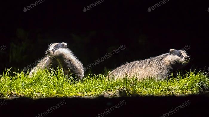Two european badgers