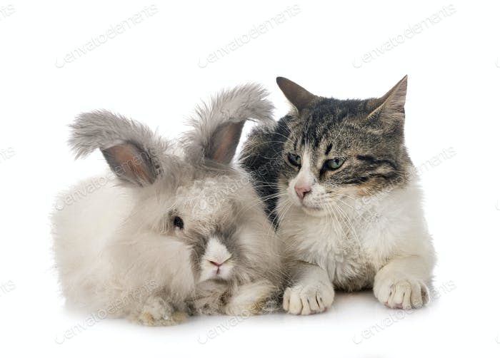 English Angora rabbit and cat