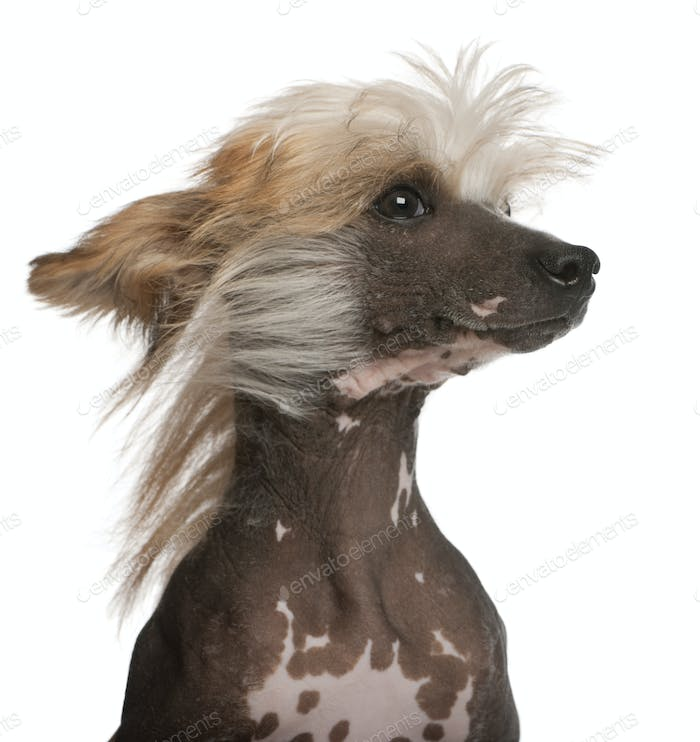 Close-up of Chinese Crested Dog with hair in the wind, 7 years old, in front of white background