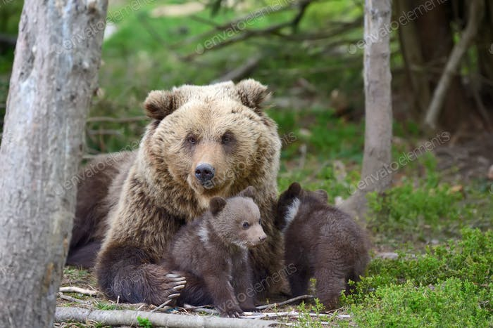 Brown bear and cub