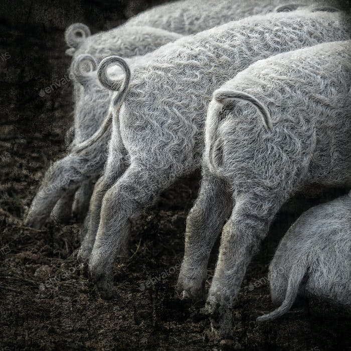 Composite of the rear ends of a litter of mangalitsa piglets as they feed
