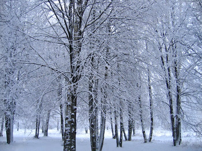 Trees in the snow in a winter park