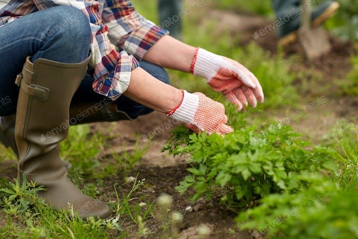 senior woman working in garden or at summer farm