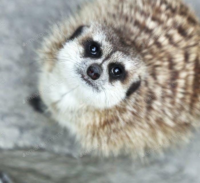 Funny and cute suricate (meerkat)