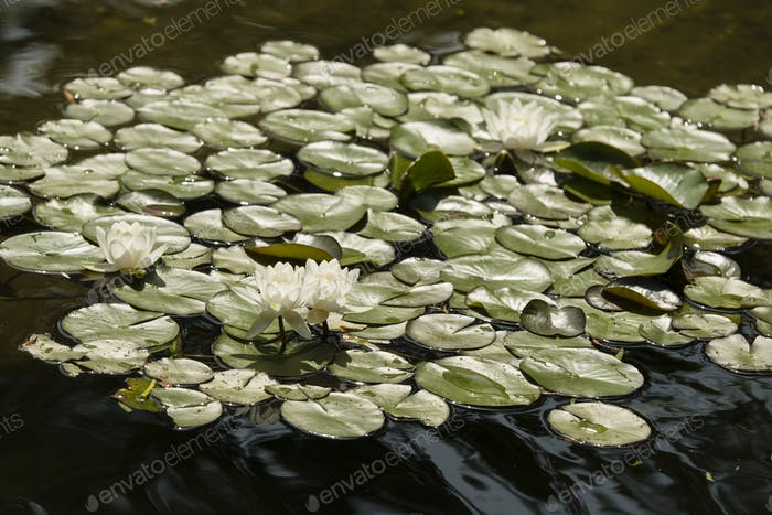 Flowers of waterlily plant on pond