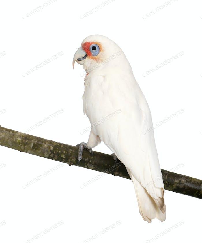 Long-billed Corella - Cacatua tenuirostris