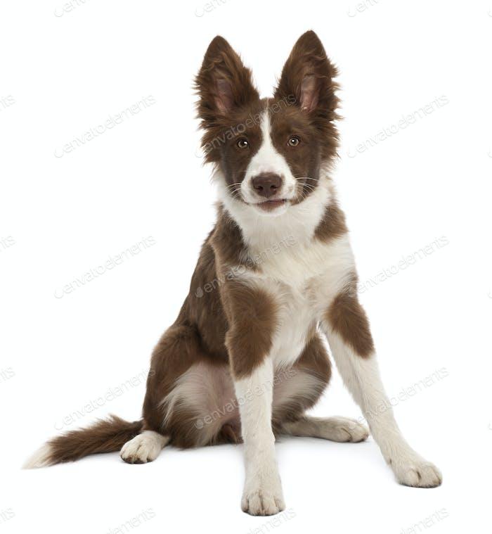Border Collie puppy, 5 months old, sitting against white background