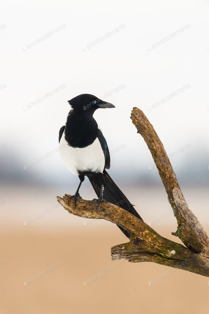 Elster Vogel auf dem Baum