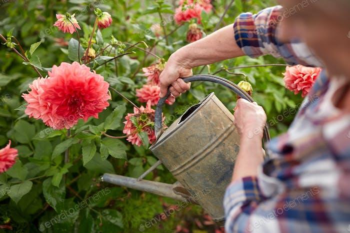senior woman watering flowers at summer garden