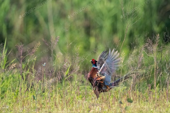 colorful male of common pheasant