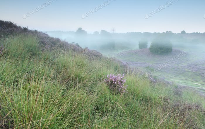 green hills and pink heather