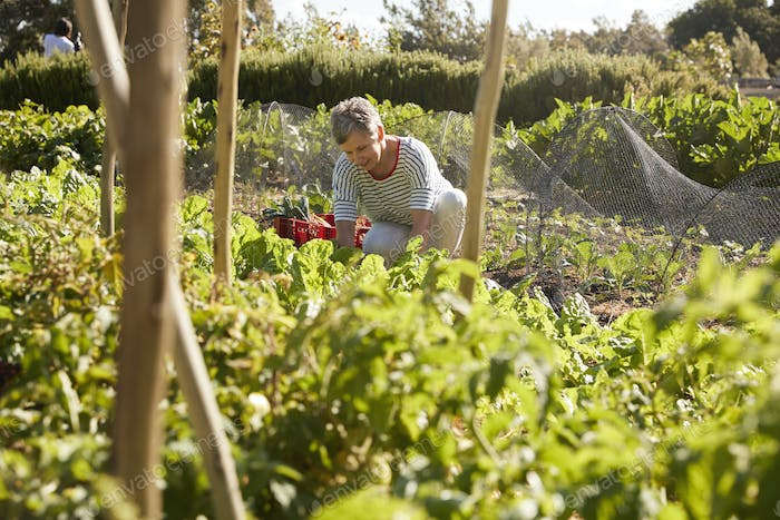 Mature Woman Harvesting Beetroot On Community Allotment