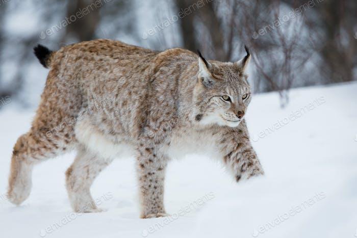 Lynx caminar en la Nieve