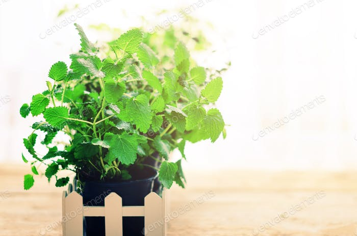 Collection of fresh organic herbs melissa, mint, thyme, basil, parsley on wooden background. Banner