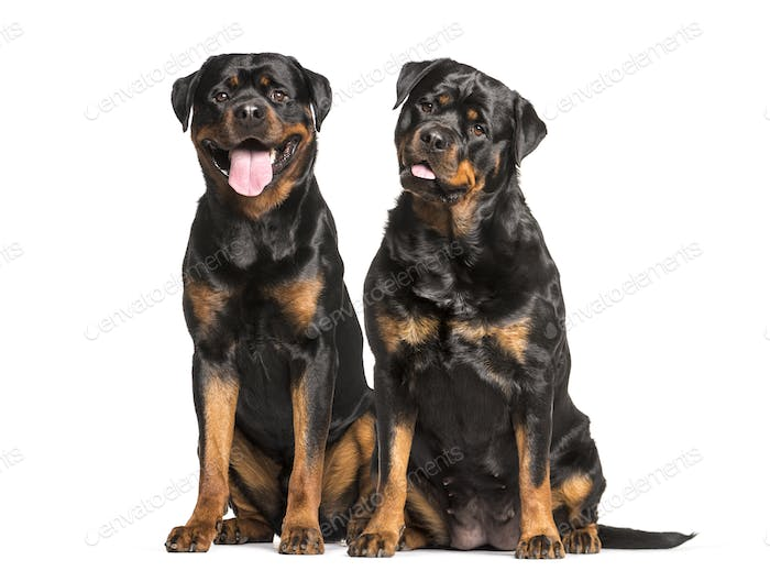Rottweiler dogs sitting and panting, cut out
