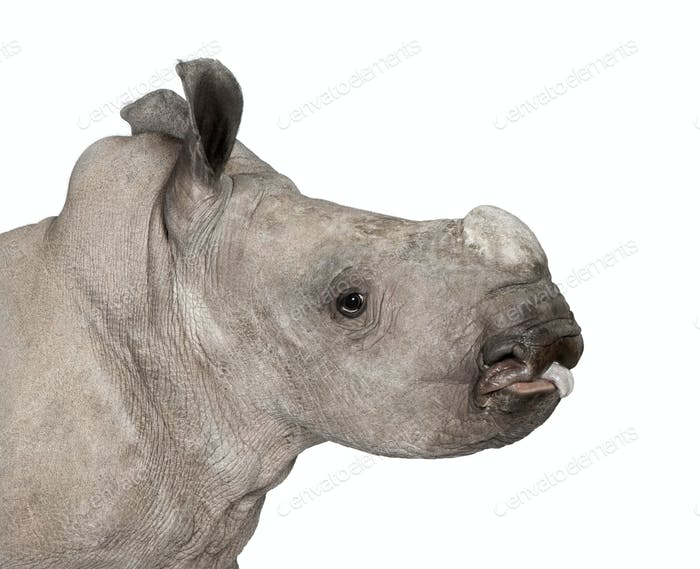 young White Rhinoceros or Square-lipped rhinoceros - Ceratotheri