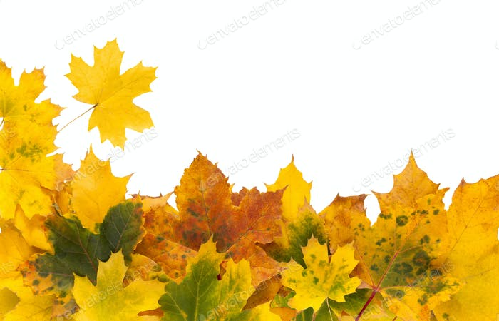 Autumn maple yellow leaves isolated on white background