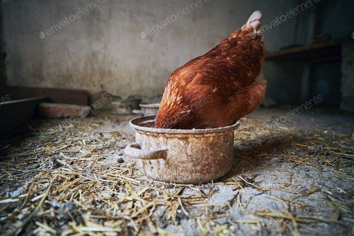 Hen at organic farm