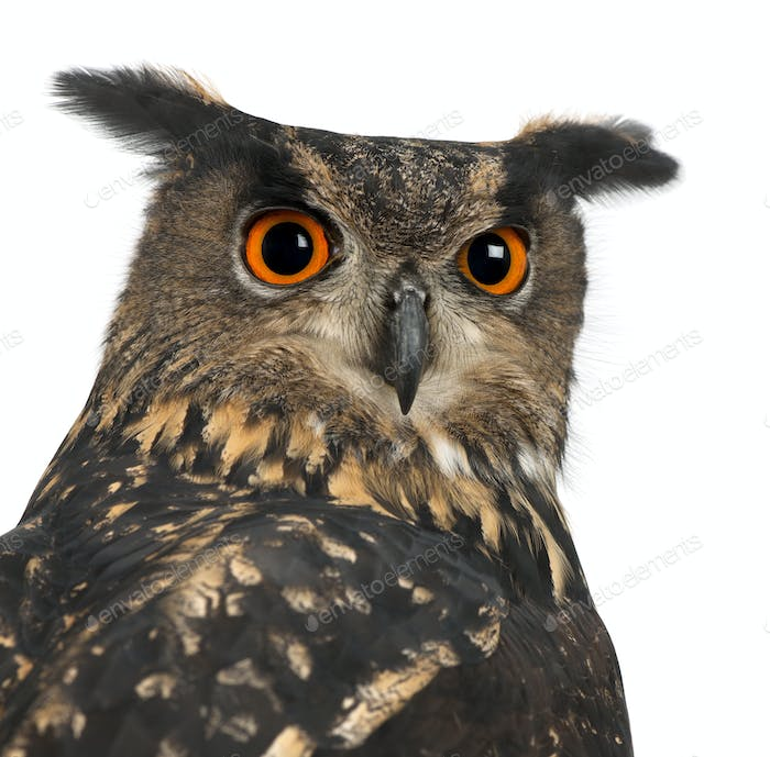 Eurasian Eagle-Owl, Bubo bubo, 15 years old, against white background