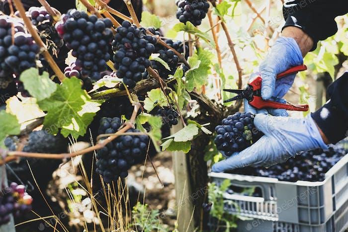 Nahaufnahme der Person, die Gummihandschuhe trägt und Gartenschere hält, die Trauben von schwarzen Trauben in