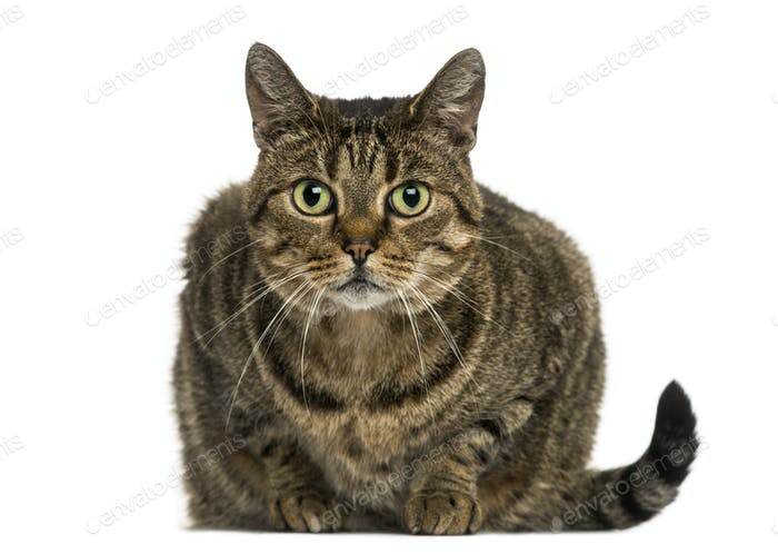 Front view of a European shorthair lying, looking at the camera, isolated on white
