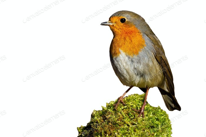 Little european robin sitting on moss isolated on white background