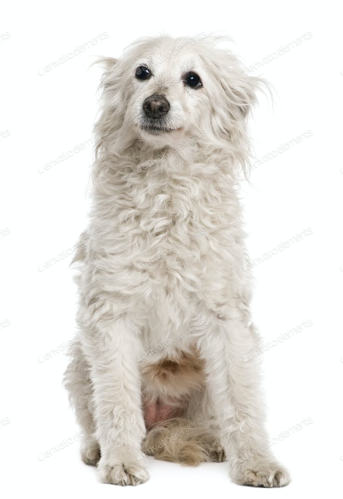 Old mixed-breed dog, 11 years old, in front of white background