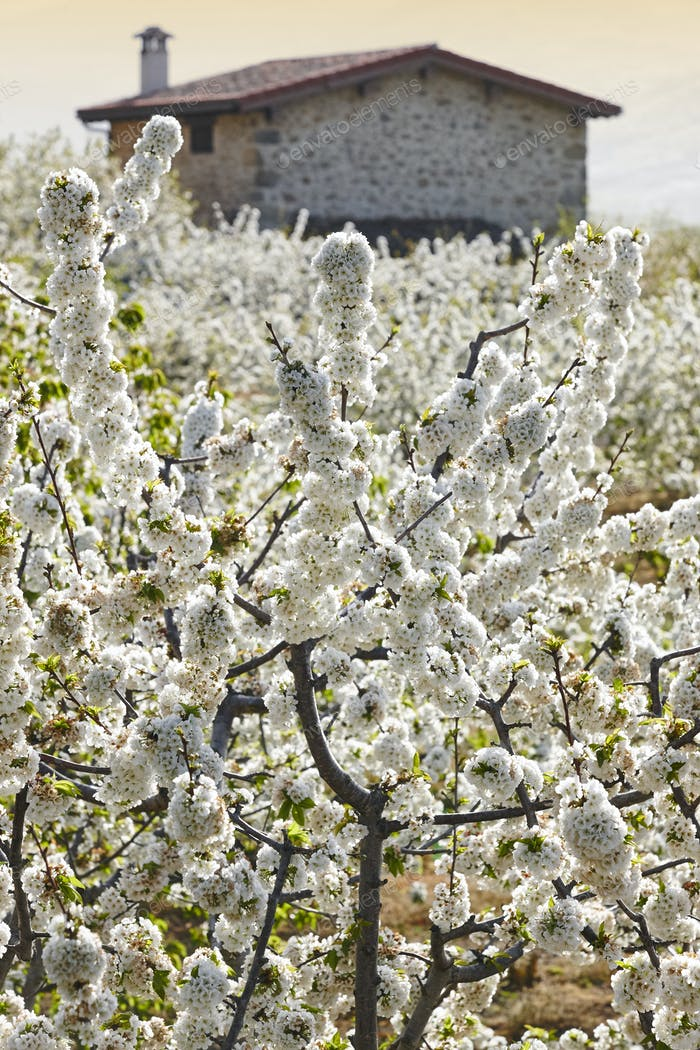Cherry blossom in Jerte Valley, Caceres. Spring in Spain. Season
