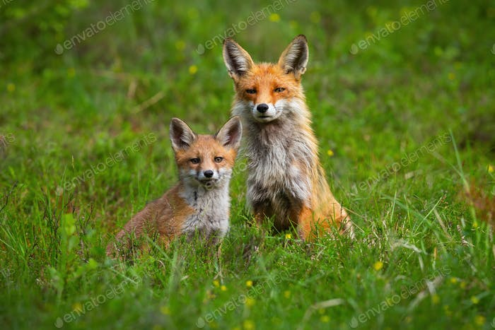 Adult red fox and a cub sitting peacefully together on a green glade in spring