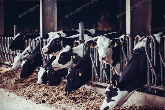 Kühe auf einem Bauernhof. Milchkühe