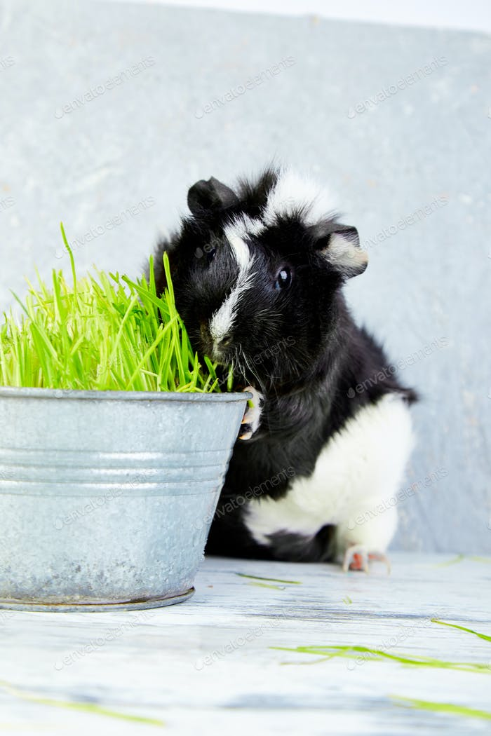 Blacck guinea pig near vase with fresh grass.