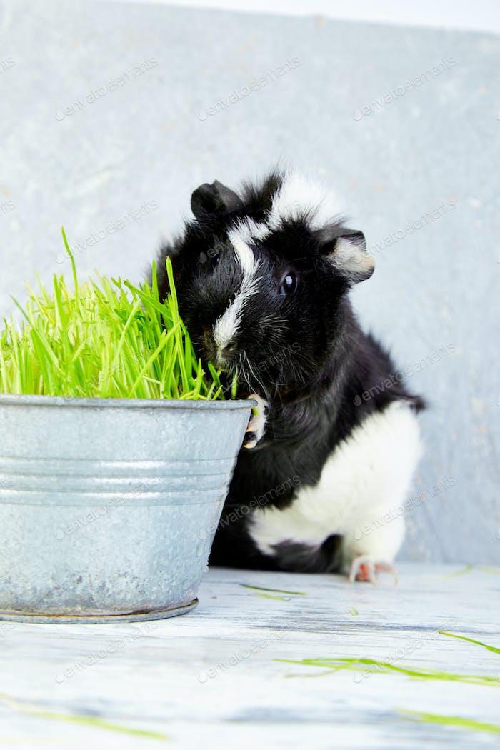 Schwarzes Meerschweinchen in der Nähe von Vase mit frischem Gras.