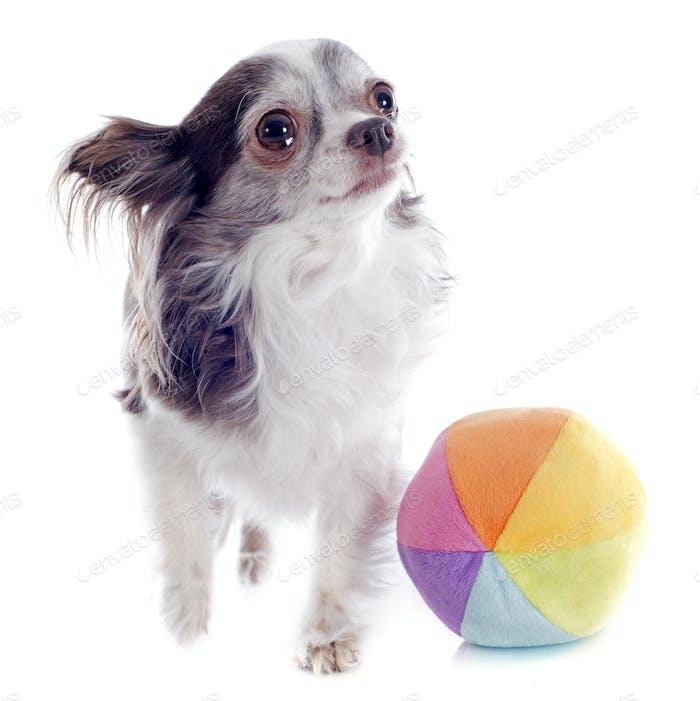 chihuahua and ball