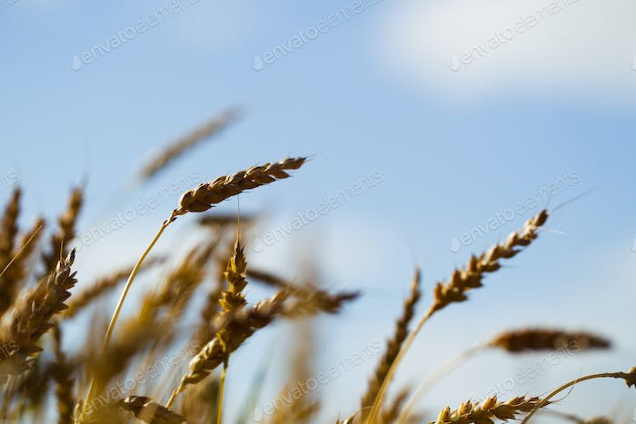 Wheat field on a summer sunny day