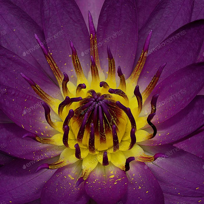 Purple Waterlily Flower