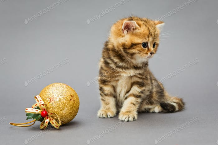 Kitten British marble with Christmas toys