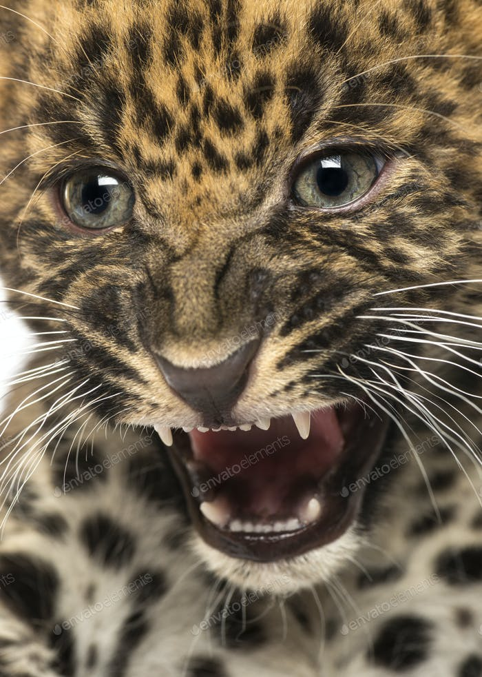 Spotted Leopard cub - Panthera pardus, 7 weeks old