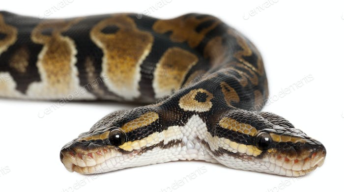 Close-up of Two headed Royal Python