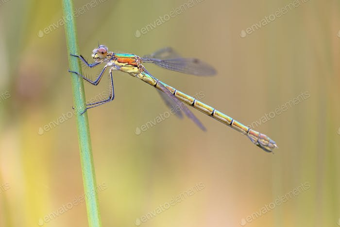Female Willow emerald damselfly