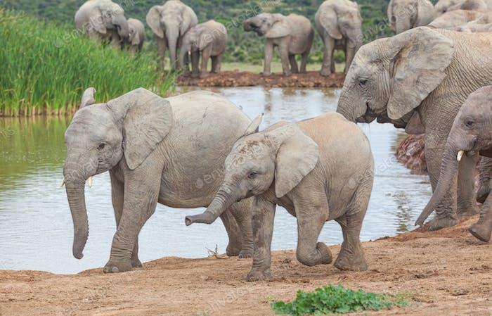 Two Lively Elephant Calves